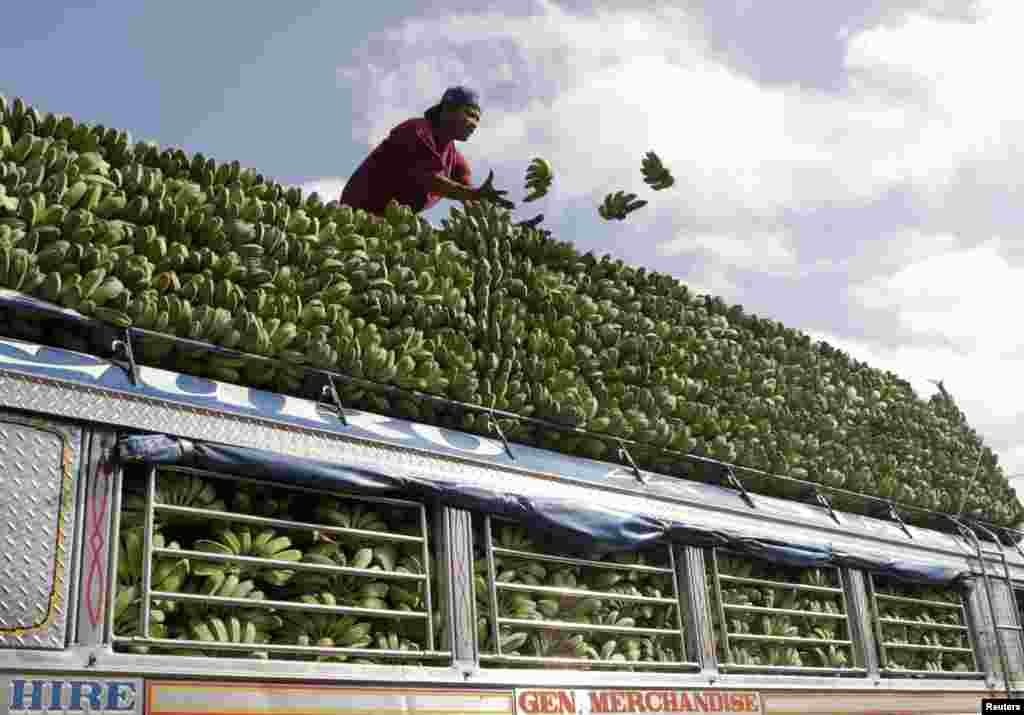 A farmer loads bananas atop a cargo vehicle to be transported to vendors in Manila, in Magsaysay, Occidental Mindoro in central Philippines.