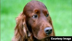 Three year old Irish Setter Thendara Satisfaction, known as Jagger, posted on oakdene.be (Courtesy: Willem & Aleksandra Lauwers)