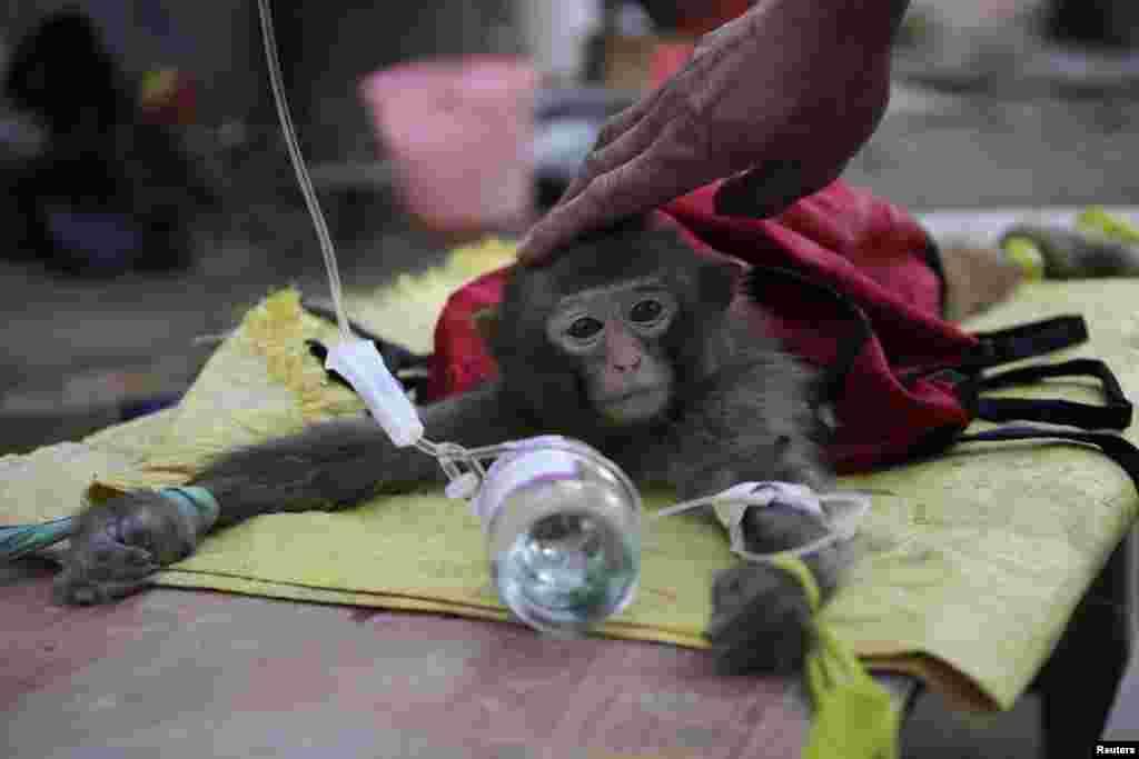 میمون بیمار در باغ وحش چین