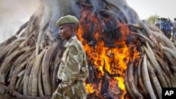File - A ranger from the Kenya Wildlife Service walks past 15 tons of elephant tusks which were set on fire, during an anti-poaching ceremony at Nairobi National Park, March 2015.