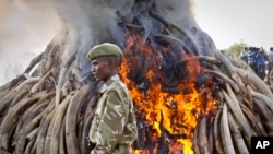 A ranger from the Kenya Wildlife Service walks past 15 tons of elephant tusks which were set on fire, during an anti-poaching ceremony at Nairobi National Park, March 3, 2015.