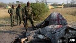 Le colonel George Bogatsu de la Force de défense du Botswana (BDF) s'arrête près du reste marqué d'un éléphant à Chobe, le 19 septembre 2018,.