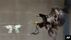 Obučeni orao lovi drona. Fotografije holandske policije, 2. februar, 2016. (Dutch Police via AP)