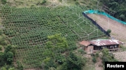 View of a marijuana field in the mountains of Tacueyo, Cauca, Colombia, Feb. 10, 2016.