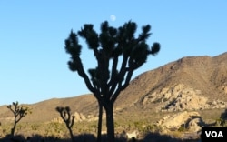 南加州沙漠里的约书亚树(美国之音国符拍摄)