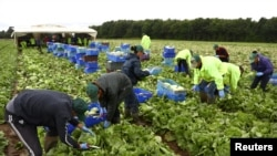 FILE - Migrant workers pick lettuce on a farm in Kent, Britain, July 24, 2017.