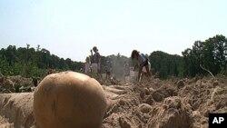 教会团体的孩子们帮助收获土豆,准备送到救助饥民的食品库