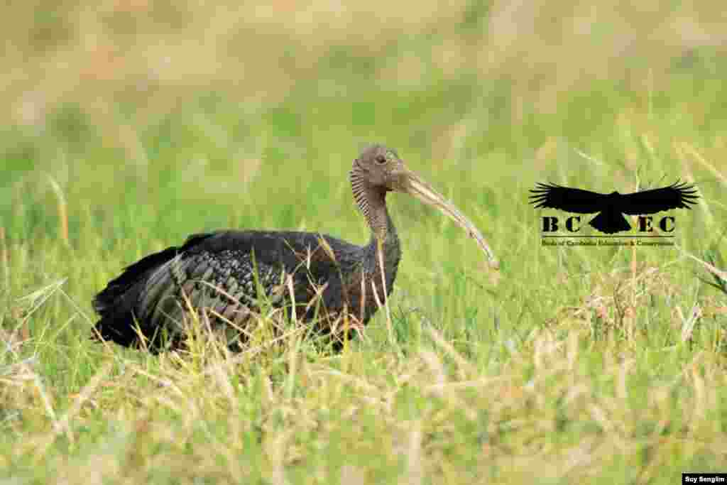 The giant Ibis, Cambodia's national bird, is currently one of the critically endangered species of bird. (Photo by Suy Senglim)