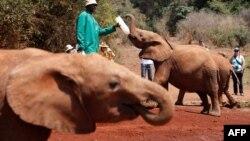 Wani na shayar da 'ya'yan giwa da madara sanadiyar kashe iyayensu da wasu suka yi a Kenya