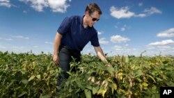 Grant Kimberley checks soybean plants on his farm, Sept. 2, 2016, near Maxwell, Iowa.