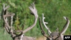 Theo truyền thuyết tuần lộc là những sinh vật thiêng liêng biết bay của ông già Noel