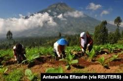Petani membersihkan rumput di sela-sela pohon tembakau di lereng Gunung Sindoro Temanggung, 5 Juni 2017. (Foto: Antara/Anis Efizudin via REUTERS)
