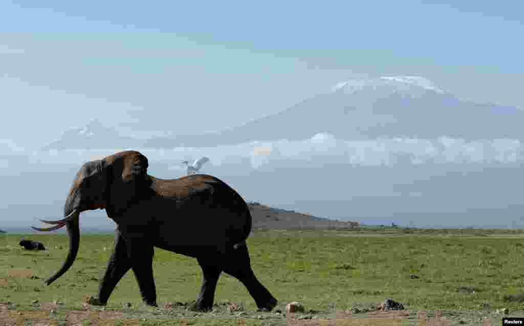 សត្វដំរីមួយក្បាលដើរក្នុងសួនឧទ្យានជាតិ Amboseli ខាងមុខភ្នំ Kilimanjaro ប្រទេសកេនយ៉ាកាលពីថ្ងៃទី១៩ មីនា ២០១៧។