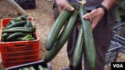 Petani timun Spanyol menunjukkan produk pertaniannya di Algarrobo, Spanyol selatan. Jerman tadinya menuduh timun Spanyol penyebab wabah E. coli, namun tuduhan ini tidak terbukti.