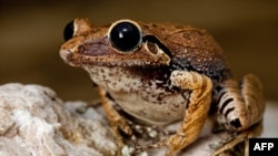 гаїтянська жаба