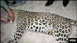 iran leopard killed second