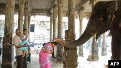 Săn trộm voi để lấy ngà và các vụ xung đột giữa người và voi là những vấn nạn chính đe dọa đàn voi Ấn Độ