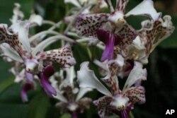 ດອກ orchid ຫລື ກ້ວຍໄມ້ ຈາກປະເທດລາວ ທີ່ວາງສະແດງ ຮ່ວມກັບດອກກ້ວຍໄມ້ ຈາກປະເທດອື່ນໆ ຢູ່ສວນພຶກສາຊາດ ທີ່ນະຄອນຫລວງວໍຊິງຕັນດີຊີ ແຕ່ເດືອນມີນາ ຫາເມສາ 2012 ນີ້.