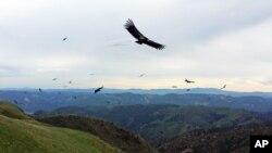 California Condors-Population