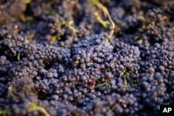 FILE - Pinot noir grapes have just been picked in a bin in Napa, Calif., Aug. 29, 2014. Farmers use chlorpyrifos to kill pests that attack many crops like grapes, almonds and cotton.
