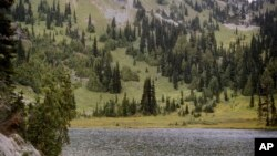 This undated photo provided by the U.S. Forest Service shows yellow-cedar trees growing along Sheep Lake east of the Cascade crest in Washington State. A study documenting mortality of yellow cedar trees in Alaska and British Columbia concludes that the future is gloomy for the iconic species valued for its commercial and cultural values.