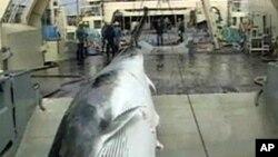 وہیل مچھلی کے شکار پر مقدمے بازی
