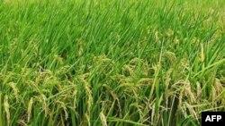Lúa 'xanh' dùng ít hóa chất hơn