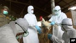 H5N1 바이러스에 감염된 조류들은 조류독감 확산 방지를 위해 살처분된다