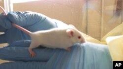Miševi u laboratoriji (arhivska fotografija)