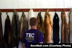 Mikah Meyer checks out a variety of animal pelts at the Grand Portage National Monument in Minnesota, including raccoon, badger, arctic fox and red fox.