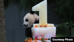 Giant Panda Bao Bao celebrates her first birthday, Aug. 23, 2014. (Photo: Smithsonian's National Zoo)