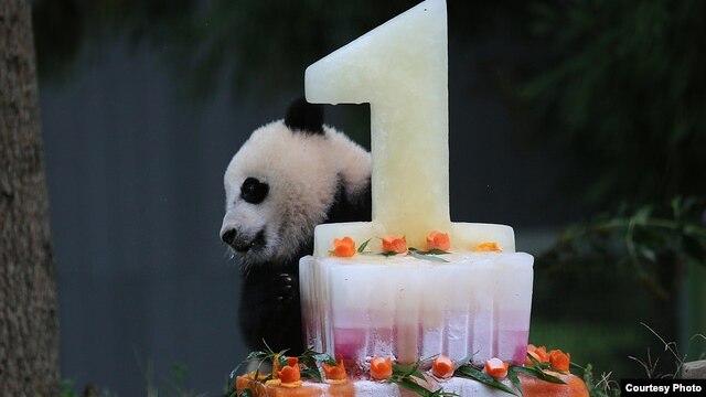 Giant Panda Bao Bao celebrates her first birthday, Aug. 23, 2014. (Photo: Smithsonian's National Zoo)