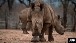 Protected rhinos roam and feed in an enclosed precinct at the Kahya Ndlovu Lodge in Hoedspruit, in the Limpopo province of South Africa, Sept. 25, 2016.