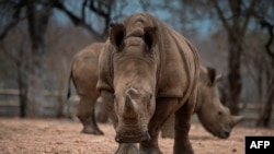 Já só restam 20 rinocerontes em Moçambique
