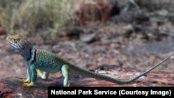 Una lagartija en el Petrified Forest National Park, en Arizona, EE.UU.