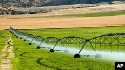 The US Supreme Court will hear arguments involving a genetically modified variety of alfalfa designed to grow even when farmers spray it with a chemical that kills weeds.