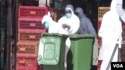 香港漁護署的官員身著白色防護服,把雞抓出來放入綠色箱子裡。(視頻截圖)