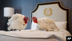 """Hai con gà tây được ở khách sạn năm sao, Willard InterContinental Hotel, tại Washington trước khi được """"gặp"""" tổng thống Trump và được... đặc xá, không bị làm thịt. (AP Photo/Jacquelyn Martin)"""
