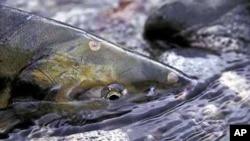 Na američkom tržištu uskoro genetski modificirani losos?
