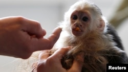 Mally, the pet monkey of Canadian singer Justin Bieber, is seen at a home for animals in Munich, Apr. 2, 2013.