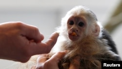 FILE - Mally, the pet monkey of Canadian singer Justin Bieber, is seen at a home for animals in Munich, Apr. 2, 2013. Another celebrity is facing criticism for having a baby capuchin monkey.