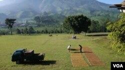 Petani tembakau di Temanggung, Jawa Tengah, menjemur rajangan tembakau panen pertama. (VOA/Nurhadi Sucahyo)