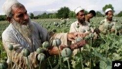 Афганські фермери збирають урожай