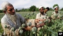 13일 유엔마약범죄사무소가 아프가니스탄에서 양귀비 재배가 급증했다고 밝힌 가운데, 지난 5월 잘랄라바드 주에서 농부들이 양귀비를 수확하고있다.