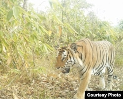 A tiger is seen at a wildlife sanctuary in Myanmar's northern Karen state. In a bid to preserve the sanctuary and to promote alternative development, local activists have launched the Karen Wildlife Conservation Initiative. (Photo - Karen Wildlife Conservation Initiative)