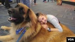 Anjing terapi disambut positif oleh para pelancong di bandara Dulles, di pinggiran Washington DC.