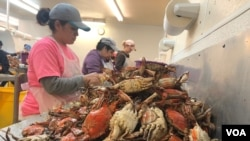 H2B visa holders pick crab meat at GW Hall & Son Seafood in Maryland. The state has 20 licensed crab businesses, employing 500 foreign workers. (A. Barros/VOA)
