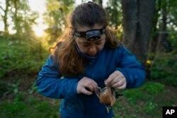 Emily Williams, ahli ekologi unggas dan mahasiswa doktoral Universitas Georgetown dengan lembut melepaskan seekor burung robin Amerika dari jaring nilon di Silver Spring, Md, Sabtu, 24 April 2021. (AP)