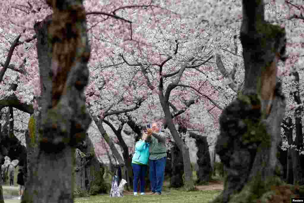 نمایی از شکوفه های گیلاس در پایتخت آمریکا
