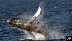 Ikan paus bungkuk di pantai barat AS (foto: dok).